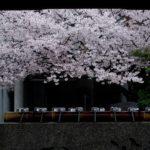 大阪桜の名所